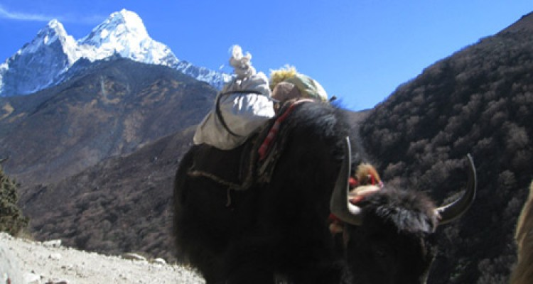 Mt Ama Dablam and Yaks