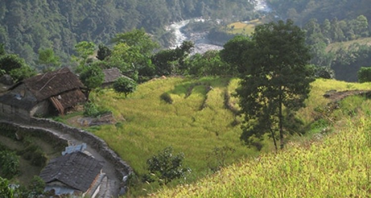 Poon Hill Trekking- Rice paddy