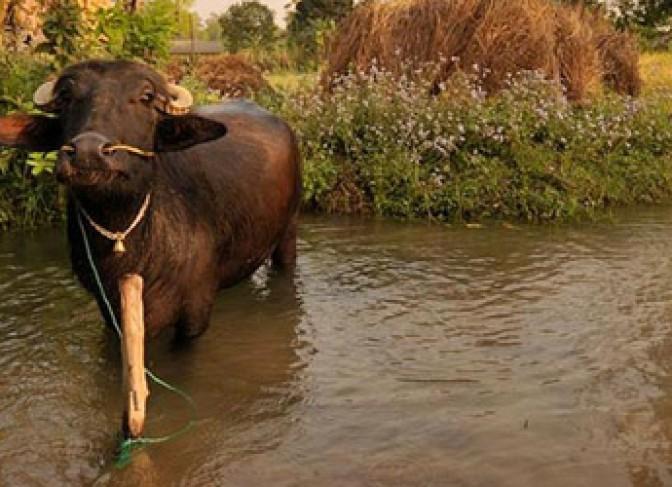 Buffalo in Bradiya National park