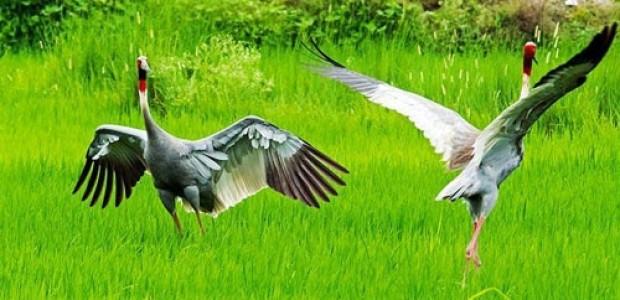 Koshi Tappu bird watching tour Nepal
