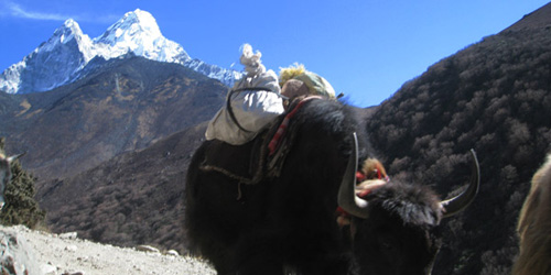 Mt Ama Dablam and Yaks