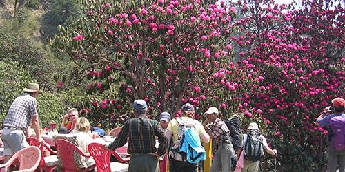 Poon Hill Trekking- Rhododendron flowers in April at Deurali