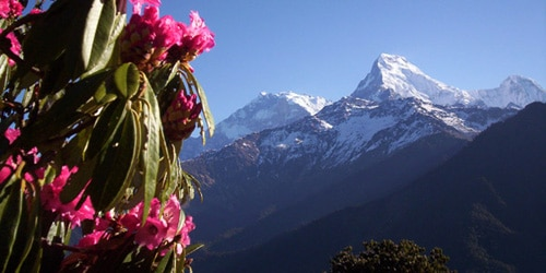 Rhododendron and Annapurna South 7219m. from Poon Hill