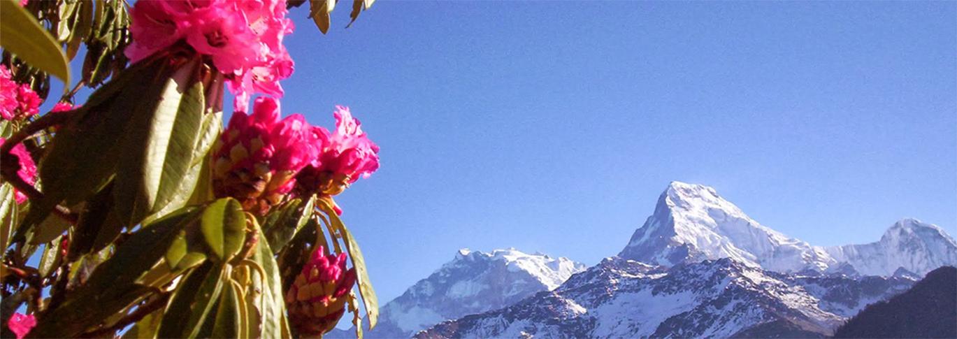 Ghorepani, Rhododendron