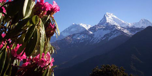 Rhododendron and Annapurna Mountains