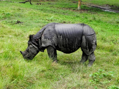 Nepal Tour- Chitwan Jungle safari encounter with Rhinoceros in Chitwan National Park
