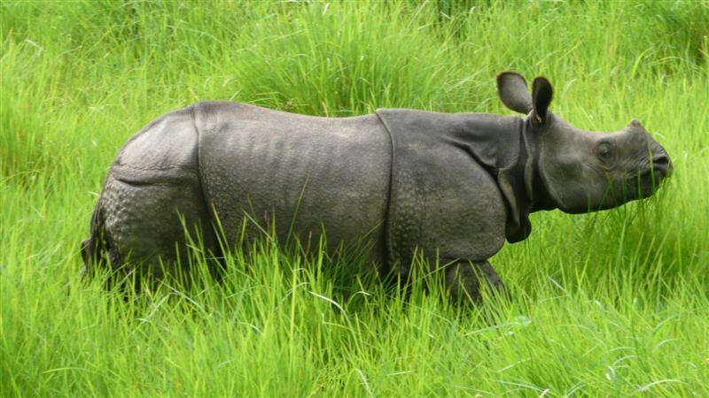 Nepal Tour- Rhinoceros in Chitwan National park