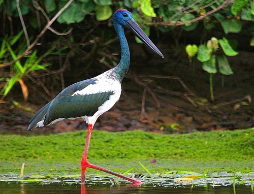 Best of Bird Watching tour in Nepal Tour- Koshi Tappu Bird Watching Tour