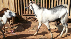goat_breeding_project