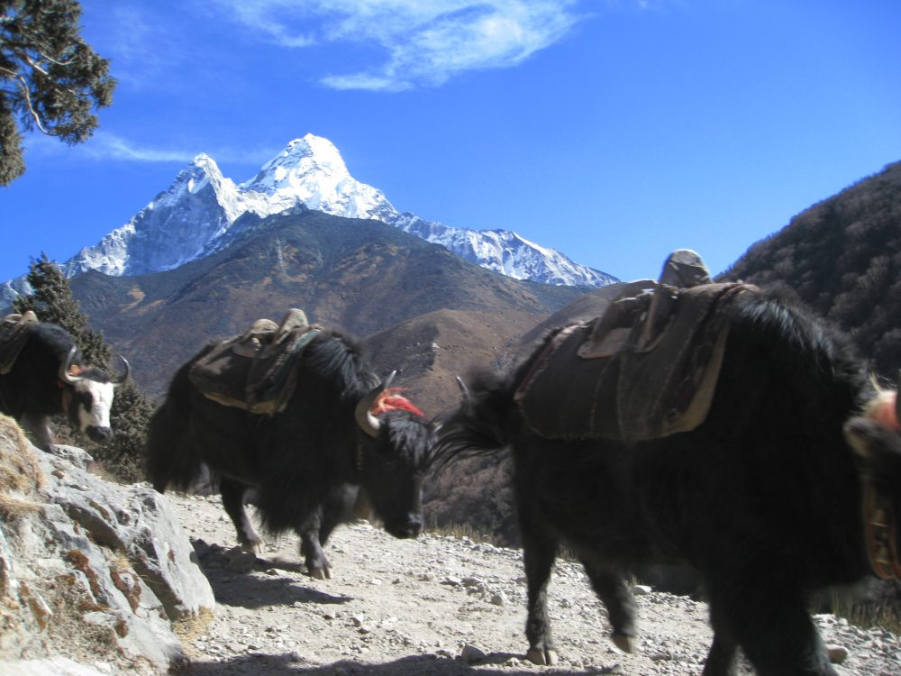 In Everest region the yak are transporting goods for local farmers, trekkers   and climbing equipment. The Yaks are always up and down with heavy loads.
