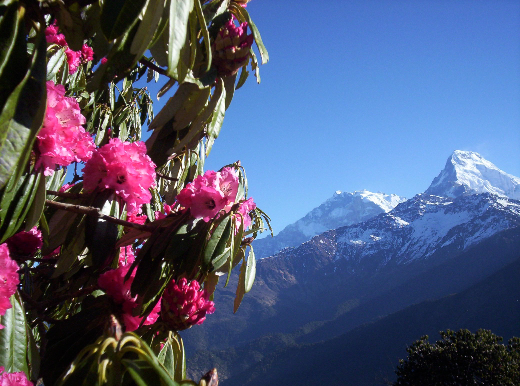 Poon Hill Trek- Annapurna South (7219 m) and  Rhododendron