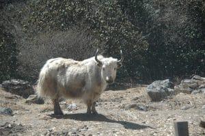 Langtang trek photo journey white yak