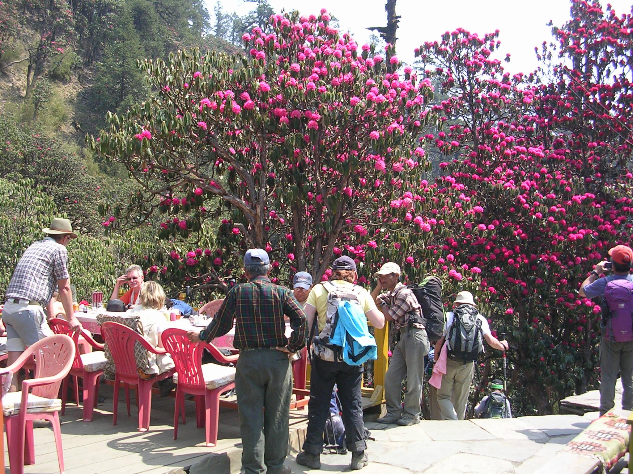 Annapurna sunrise Trek- Rhododendron in Ghorepani